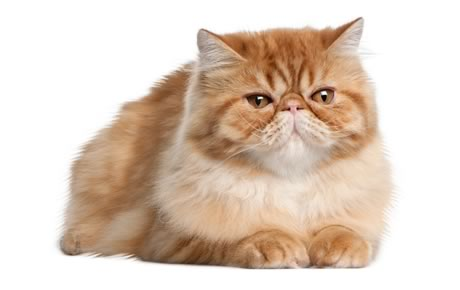 Persian Cat No Cross Eyed